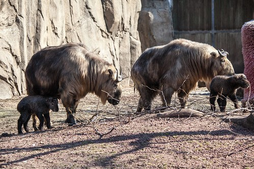 Sichuan Takin | The Animal Facts