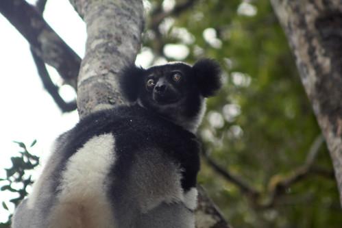 Indri - Analamazaotra National Park, Madagascar