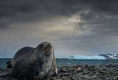 DSC_1228.jpg (Ashley.Cordingley1) Tags: sea storm elephant cold ice birds giant fur penguin extreme leopard seal british remote whales orca petrol wilderness humpback survey albatross antarctic peninsular weddell crabeater wilsons