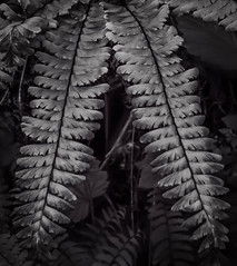Frond Form (C. Schroeder | Photography) Tags: bw fern texture contrast forest landscape flora frond abiquacreek