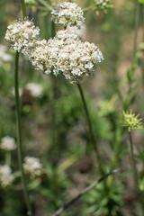 Eriogonum fasciculatum (Weeding Wild Suburbia) Tags: park gardens places publicgardens spnp