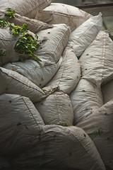 Bursting with flavour (markpaulandrews) Tags: green leaves tea malaysia sack cameronhighlands teaplantation 2013 bohtea