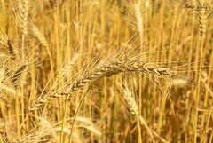 REady - Wheat Field-Chiniot
