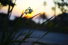 Narcissus in Sunset from Hayama Japan (trumpet.saw) Tags: sunset narcissus