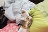 20150212-DSC_0551 (Noelas) Tags: pet cat 50mm momo nikon taiwan mo 02 taipei 12 af nikkor dslr 台灣 台北 猫 ai ねこ 寵物 貓 2015 f18d 50d d810 5018d nikonaiafnikkor50mmf18d 外閃 nikond810 永諾 yn565ex 玩逗貓棒 vee是好貨