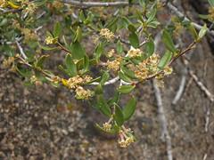 curlleaf mountain mahogany, Cercocarpus ledifolius var. intermontanus (Jim Morefield) Tags: california flowers white yellow spring flora unitedstates whitemountains wildflowers bishop shrub