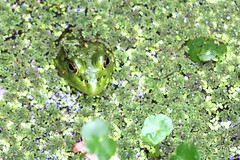 Frog Camouflage (Ross Drummond) Tags: usa holiday virginia north august carolina outer aug banks obx 2014 carritux