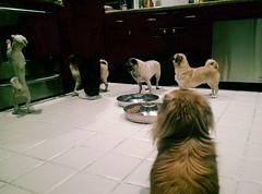 Day 116 of 365 (MarcKellyPhotog) Tags: food dog pets dogs kitchen puppy lomo lomography pups puppies floor pug bowl teddybear scraps pugs herd pekingnese handouts marckellyphotography