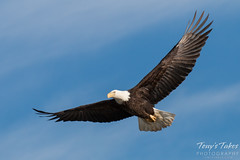Bald Eagle flyby
