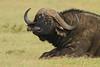 You're it! (Rainbirder) Tags: kenya capebuffalo maasaimara synceruscaffer rainbirder
