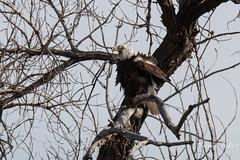 Do Bald Eagle's shiver?