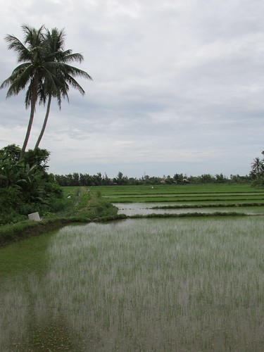Rizières, Hoi An, Vietnam