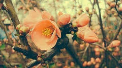 Day38/365 (Bluevee Design) Tags: flower macro spring project365 chaenomelesjaponica sonydscw90 vscopx70