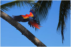 Landing in 3, 2, 1  ~  Atterrissage dans 3, 2, 1 (SergeK ) Tags: blue red yellow america scarlet south large parrot explore evergreen tropical macaw parrots forests humid macaws southamerican neotropical sergek