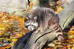 DSC_0337 (d90-fan) Tags: autumn animals tiere herbst hirsch braunbr brownbear geier waschbr wolfes luchs badmergentheim wlfe