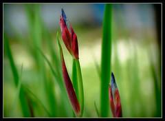 schnen Freitag !!! (karin_b1966) Tags: iris plant flower nature garden natur pflanze bud blume garten knospe 2016 yourbestoftoday
