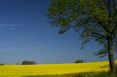Rapsfeld (birdsiview) Tags: blue sky tree field yellow germany 50mm colorful feld sunny gelb 17 sonnig raps baum canola holstein norddeutschland pentaxm