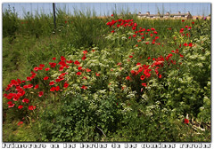 mayo en los bordes de los caminos rurales (M. Martin Vicente) Tags: amapolas floressilvestres mayo2016
