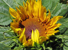 Sunflower season is here! (Swallowtail Garden Seeds) Tags: summer orange sun flower macro yellow sunflower helianthus helianthusannuus swallowtailgardenseeds
