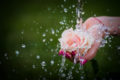 (jakub.sulima) Tags: pink flowers plants white flores flower green nature water fleur grass rose yellow outside 50mm droplets petals drops flora nikon stream soft colours hand natural bokeh outdoor pastel natur poland pale serene splash nikkor 18 delicate d3200 frozenmotion