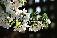 Pommettier  fleurs blanches, Crabapple Tree, White Flowers (francepar95) Tags: morning plant tree petals spring bokeh calm stamens printemps calme pur crabapple blanches matine whiteflowers ptales pommetier puret tamines clatant abondante