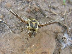 Exoprosopa (carlos mancilla) Tags: insectos flies moscas exoprosopa olympussp570uz