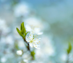 Just cherry (Varvara_R) Tags: white macro sunshine cherry spring blossom bokeh