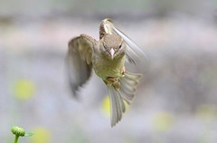 DSC_7380 (sylvette.T) Tags: bird nature animal flying sparrow oiseau 2016 inflightshot coth5 greaterphotographers nikond5100 moineaau