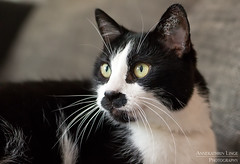 Foster cat Toni (AnnekathrinLingePhotography (sunshine-pics.com)) Tags: portrait white black eye cat canon eos katze auge schwarz kater weis 2875mm tamorn 700d