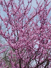 Lombard, IL, Lilacia Park, Blooming Redbud Tree (Mary Warren (6.7+ Million Views)) Tags: pink flowers tree nature spring flora blossoms blooms redbudtree lilaciapark lombardil