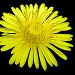 Sunny dandelion - Pissenlit ensoleilé thumbnail