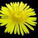 Sunny+dandelion+-+Pissenlit+ensoleil%C3%A9