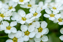 Tiny blossom (gynsy75) Tags: flowers plants macro spring blossom floraandfauna