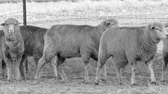 Merino first cross or comeback flock of sheep - NSW 2016 (BW) (nicephotog) Tags: wool animal yard rural sheep farm flock australia merino nsw comeback wether paddock ewe firstcross