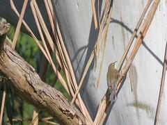 Cormobates leucophaeus 2 (barryaceae) Tags: park new birds wales south australia aves national australianbirds treecreeper dorrigo whitethroated leucophaea cormobates ausbird ausbirds