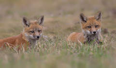 Red fox kits (Phiddy1) Tags: wild ontario canada babies wildlife fox kits foxes redfox
