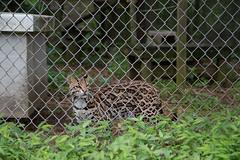 Petee, an ocelot (whereisjulie?) Tags: rescue tiger lion carolina cougar ocelot serval caracal kinkajou