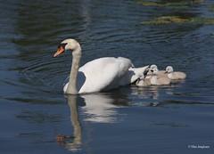 Mother and kids (Max Jongkoen) Tags: swan swans zwaan zwanen zwaantjes youngswans jongezwaantjes