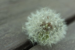 Floater (abby.mundell) Tags: flower macro closeup dandelion wish delicate whimsical floater