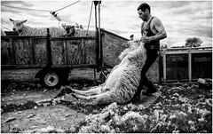 Stainton . (wayman2011) Tags: uk people wool mono sheep farming dales shearing pennines lightroom countydurham teesdale bwlandscapes stainton wayman2011 fujifilmx70