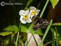 Black Swallowtail on Daffodil-Ronoake Island NC 2 (moelynphotos) Tags: swallowtail blackswallowtail daffodils flowers plantsandanimals eating landed colorful wings insect garden outerbanks ronoakeisland northcarolina southernus coast nopeople designs patterns butterfly moelynphotos nature outdoors