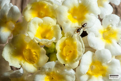 Macro (Steve Lindenman) Tags: flower macro ant lindenman cpmg0516sa