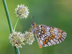 Melitaea athalia (Raffaella Coreggioli ( fioregiallo)) Tags: macro flora nikon italia natura farfalla veneto naturalistica fioregiallo melitea