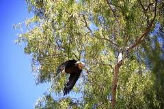 "Baby Bald Eagles ""eaglets"" week 13   21 (Gritsgal Photo's) Tags: bald eagles baldeagles"