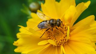 Une mouche qui se fait passer pour une abeille