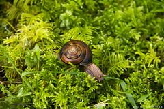 _MG_0243x (kmax) Tags: moss rainforest oliver snail