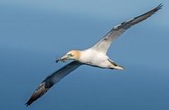 JWL9857 Gannet..... (jefflack Wildlife&Nature) Tags: nature birds countryside wildlife gulls avian gannets seabirds waterbirds gannet shorebirds wildbirds bempton coastalbirds