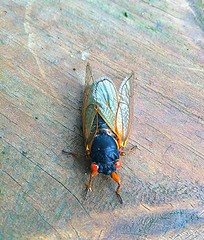 Cicadas Are Here Again .. (carolynthepilot) Tags: trip travel camping trees ohio urban mike nature beautiful creek river carolyn michael flying interesting bed photographer photoshoot natural image hiking getaway postcard ngc sightseeing insects roadtrip bugs traveller explore westvirginia romantic waters summertime rv tranquil touring ohiopyle cicadas ironbutterfly nationalgeographic nationalgeographicmagazine romanticgetaway silkstockings 17years goldenwings worldtraveler worldtraveller waterislife nationalgeo bucketlist nationalgeographicphoto romanticdestination nationalgeographicexplorer carolynbistline carolynthepilot bistline carolynsuebistline wagonwheelcampground cobcordian dormantbug