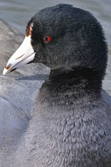 American Coot - Catching the Red-Eye (kenyoung3) Tags: coot americancoot gruiformes fulicaamerican