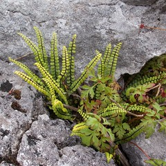 Flora of the Burren 7 (Michael Foley Photography) Tags: county ireland plants ice flora mediterranean clare glacier alpine age limestone burren clints artic climate coclare galwaybay temperate grikes grykes